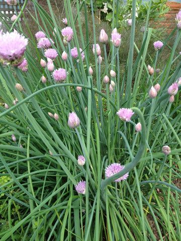 Chives Nature And Nurture Seeds Plants Edible Plants Chives Plant