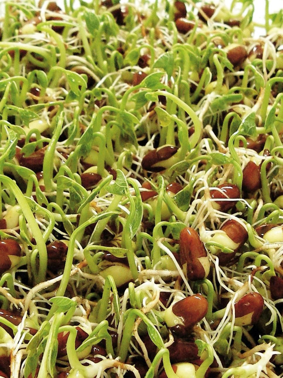 Growing culinary herbs sprouting seeds growing sprouts