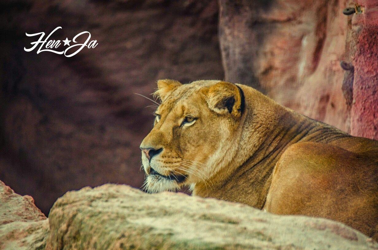 HenJa Fotografie Löwe Lion Zoo Hannover Animals Tiere
