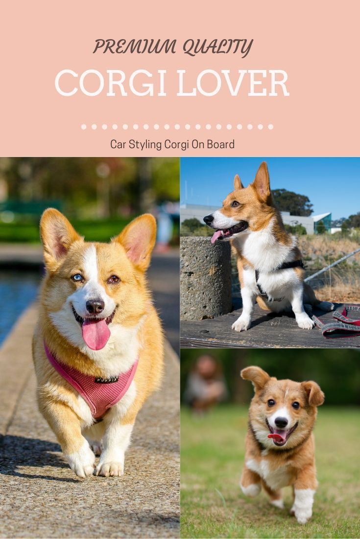Welsh Corgi Puppies For Sale In Wi 2021
