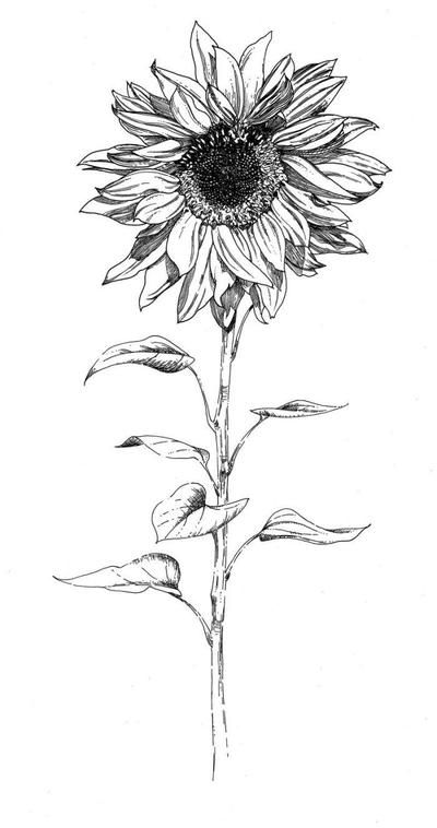 Photo of botanical-sunflower-jpg