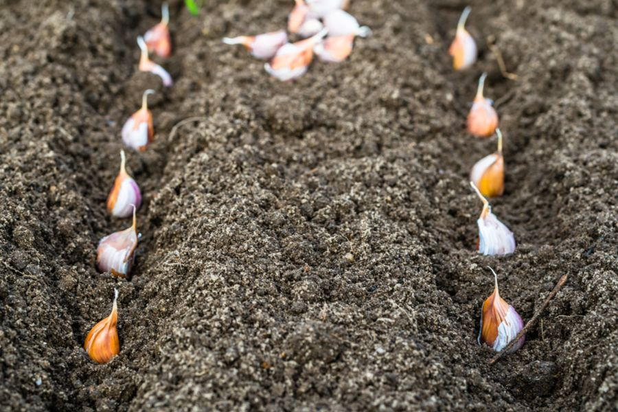 Planting Garlic In The Fall - The Secrets To Growing A Great Crop! #veggiegardens
