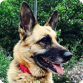 Cupertino, CA - German Shepherd Dog Mix. Meet Cookie T., a dog for adoption. http://www.adoptapet.com/pet/13303761-cupertino-california-german-shepherd-dog-mix