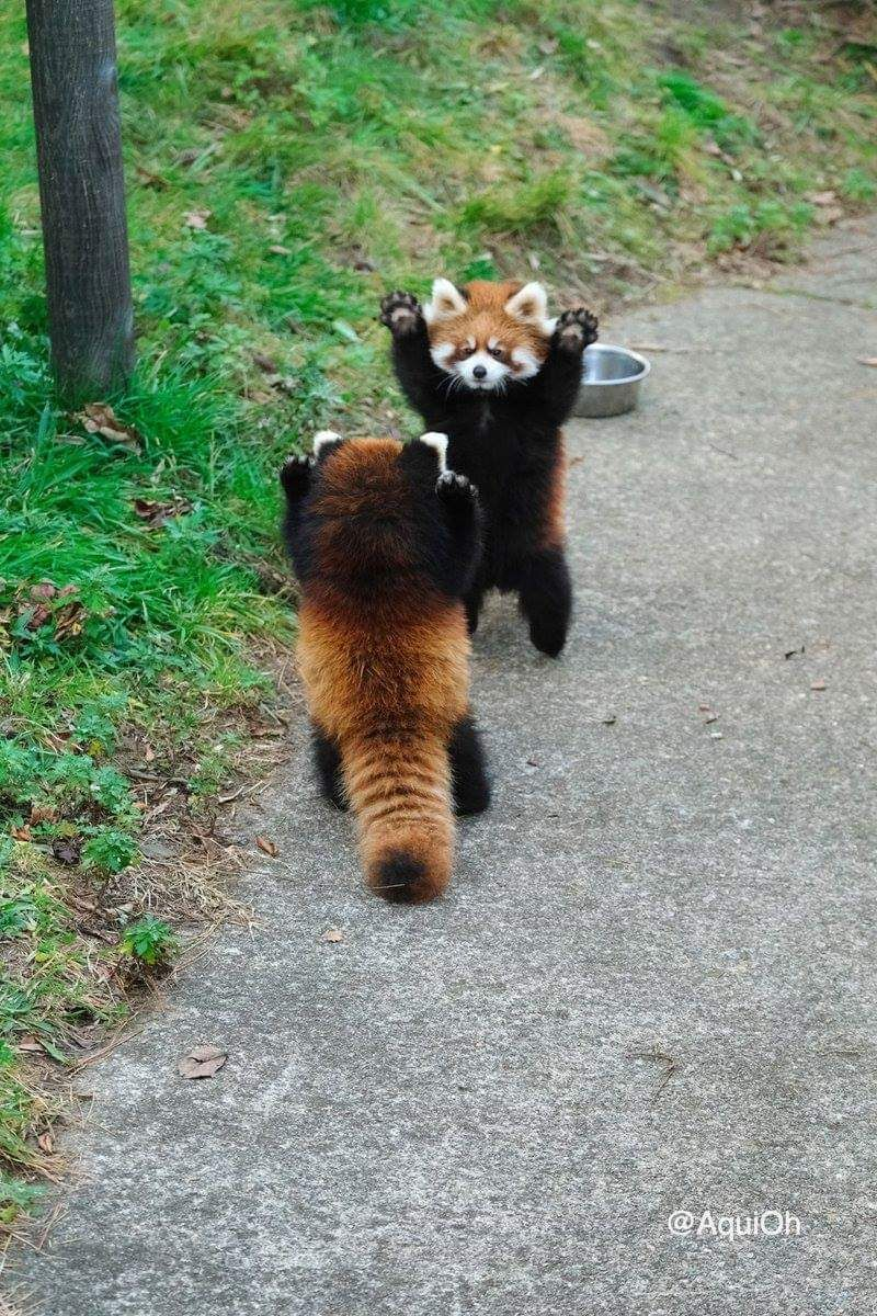 Two Red Pandas Preparing For A Double High Five Https Ift Tt 2qmtgev Baby Animals Funny