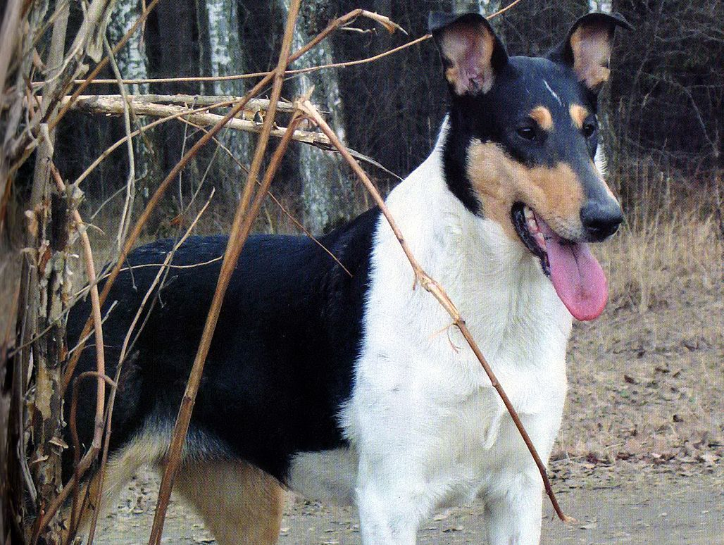 Smooth Collie Dog Photo Collie Smooth Dog Photo And Wallpaper