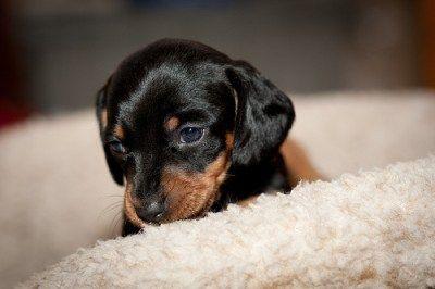 Dawhh Dachshund Pictures Black And Tan Dachshund Dachshund Puppy