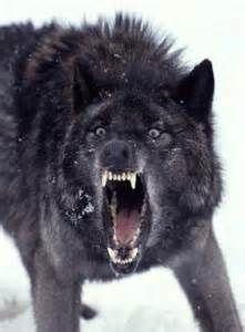 Loup Noirtres En Colere