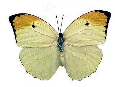 Anteos menippe   Tudo Sobre BorboletasFamília: Pierídeos  Particularidades: É uma grande e vistosa Borboleta, de vôo rápido e irregular. Os machos voam em torno das Cassia, localizando fêmeas recém-eclodidas das crisálidas.  Plantas Hospedeiras: Cassia siamea  Habitat: Sudeste, Norte e Nordeste.