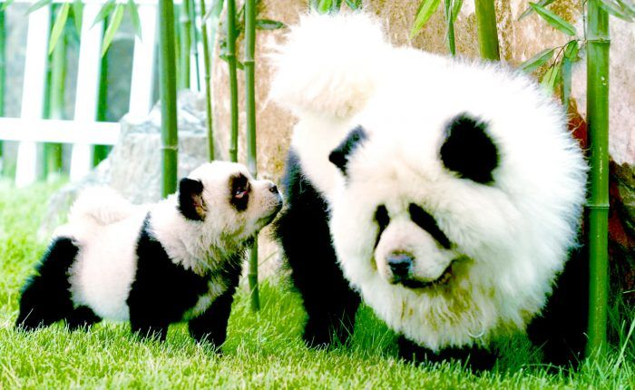 Dog breed that looks like a panda