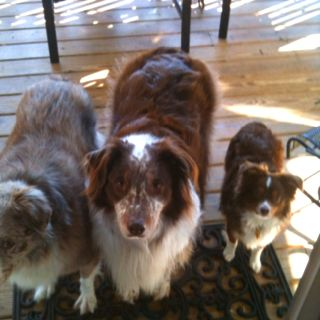 My Three Aussies Waiting To Come In And See Their Mommy Red Merle And Liver And White Aussie Are Standard Size The Australian Shepherd Toy Aussie Mini Aussie