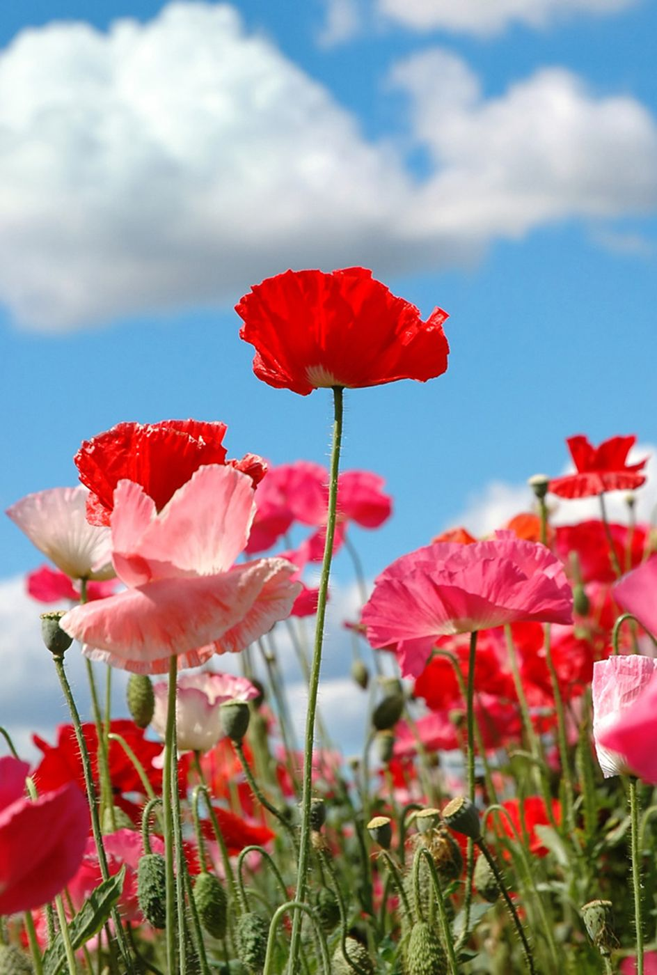 Shades of Red - Poppies   Flowers ❀ Flowers ❀ Flowers   Pinterest ...