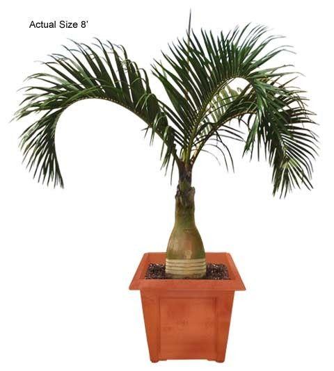 Spindle Palm Mascarena Verschaffeltii Hyophorbe Verschaffeltii Palm Tree Types Palm Trees Garden Palm Tree Flowers