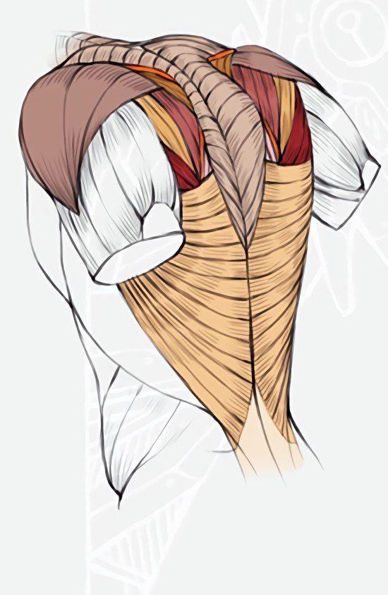 9dk7czwiwh8g 550844 Pinterest Anatomy Anatomy