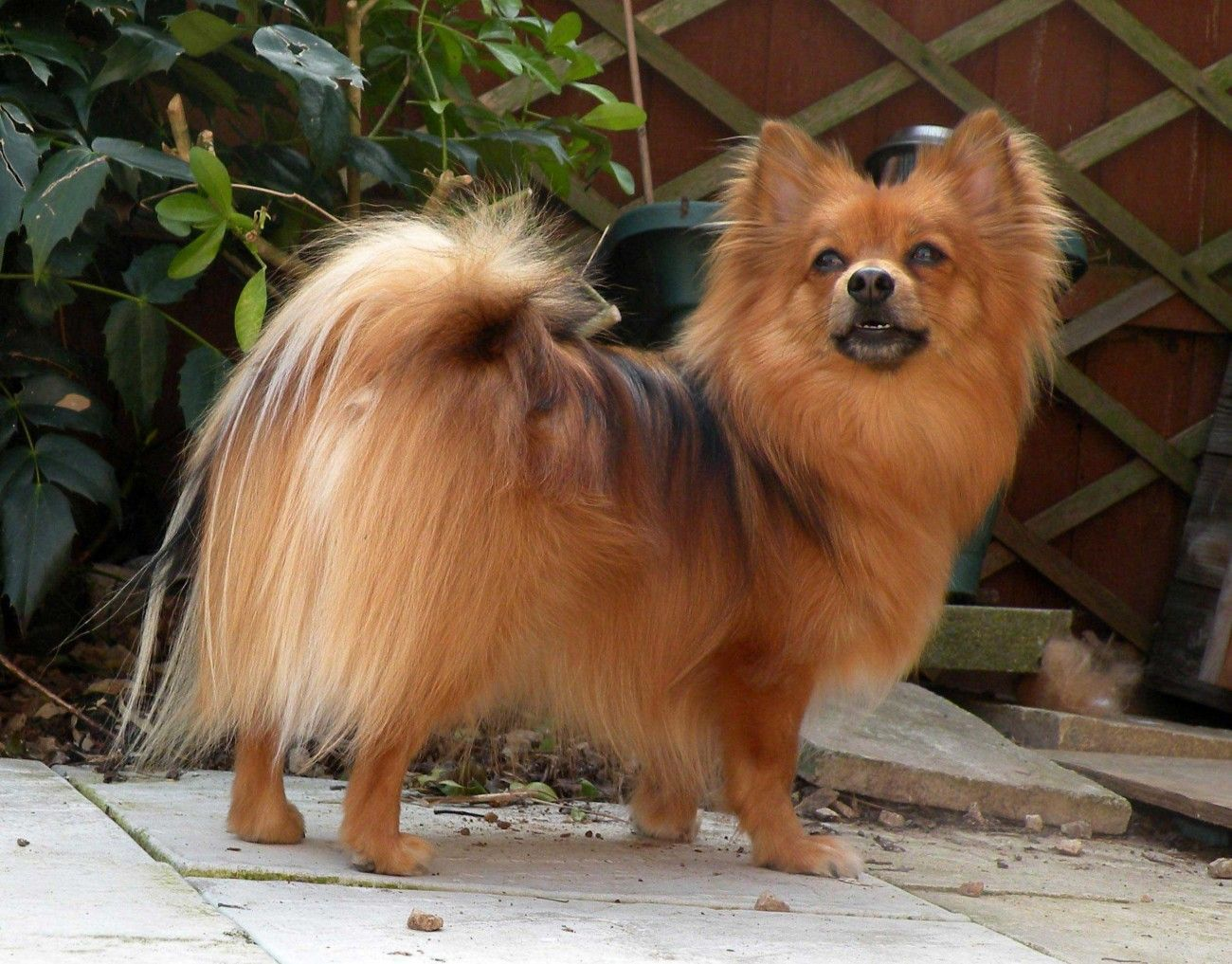 Amazing Pomeranian Brown Adorable Dog - 7ba32c06cf3c4e975a67fc3054380c4c  2018_292085  .jpg