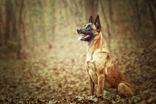 10 Best Personal Protection Dog Breeds Belgian Malinois Dog