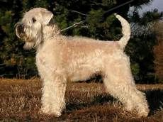 soft coated wheaten terrier haircut photos diesel soft soft coated wheaten terrier haircut photos soft coated