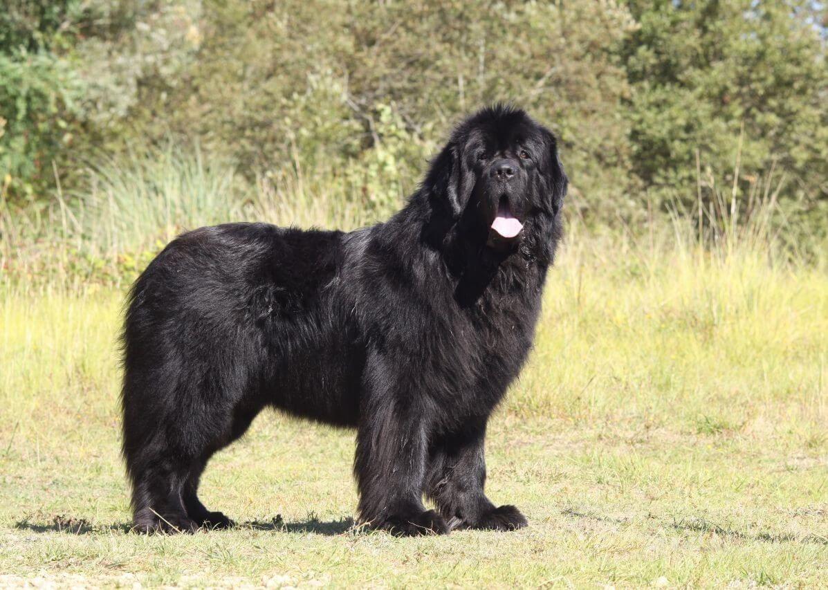 5 Dog Breeds That Look Like Polar Bear Large Dog Breeds Polar