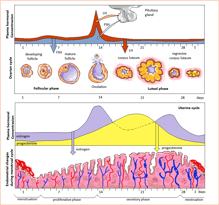 hight resolution of the ovarian cycle has three different phases it has the follicular phase ovulation