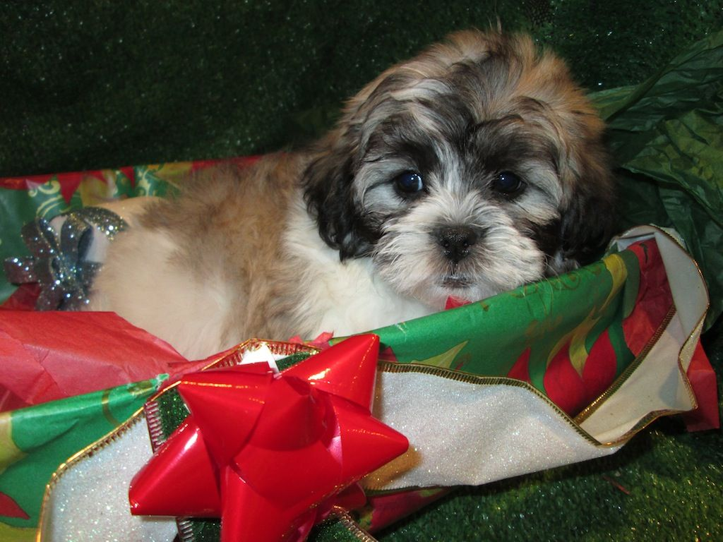 Teddybear Puppies For Sale Bichon Frise X Shih Tzu
