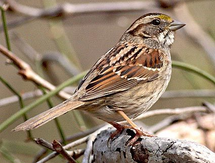Adult Tan Striped White Throated Sparrow Eating Sunflower Seeds