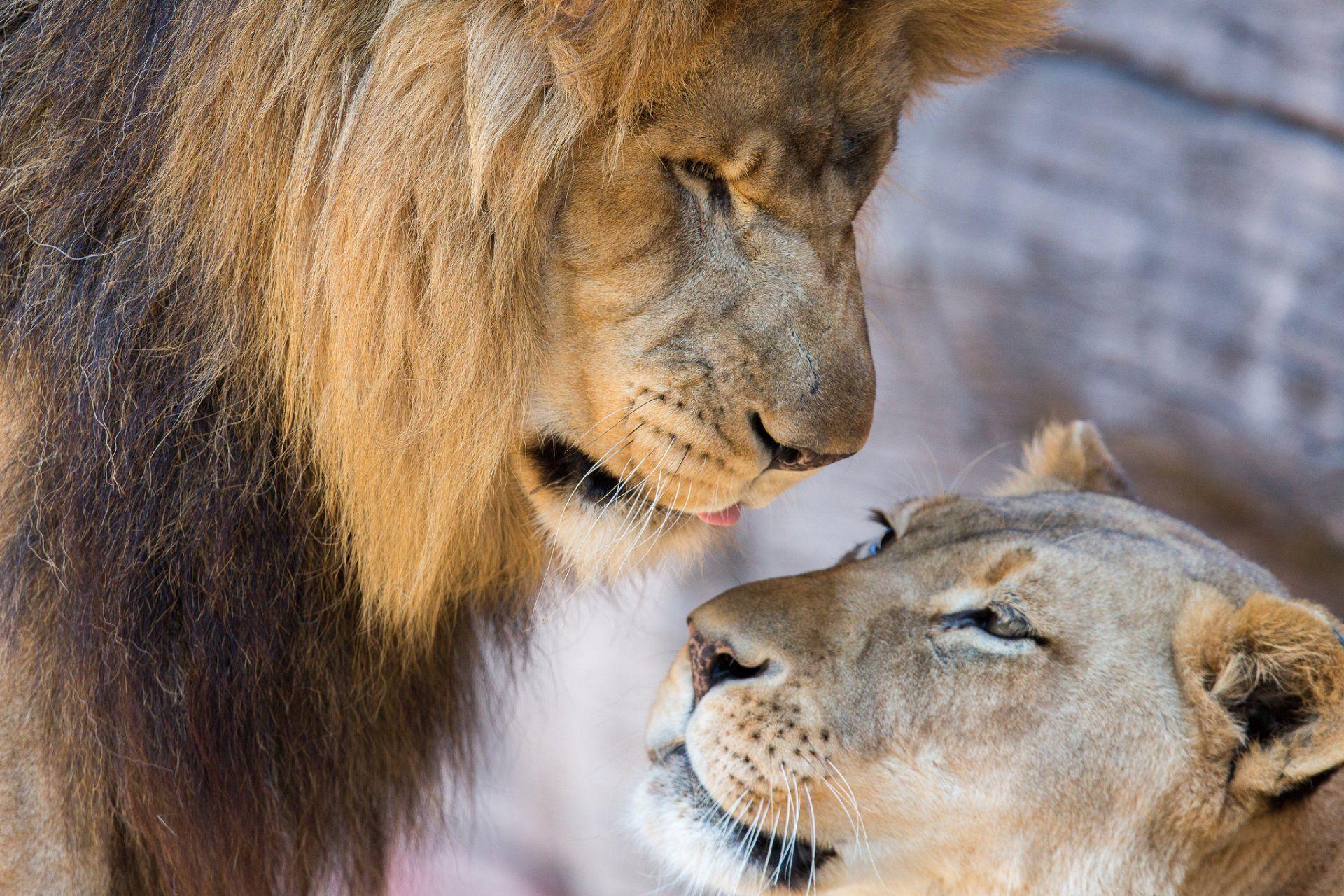 красивые картинки лев и львица вместе этого