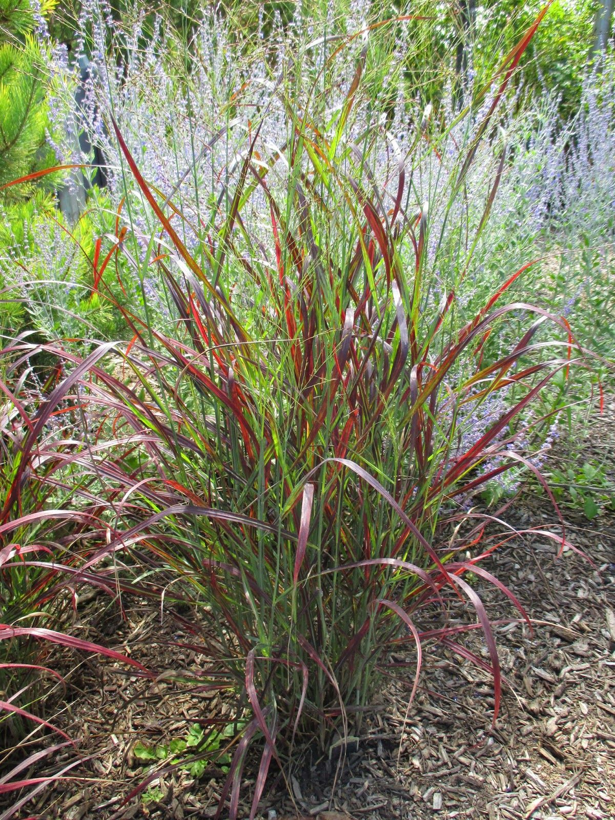 Panicum virgatum 39 ruby ribbons 39 3 4 39 tall blue green for Perennial grasses red