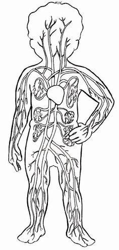 Resultado de imagen de sistema circulatorio para colorear