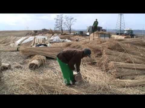 Schilfschneiden in Purbach - YouTube