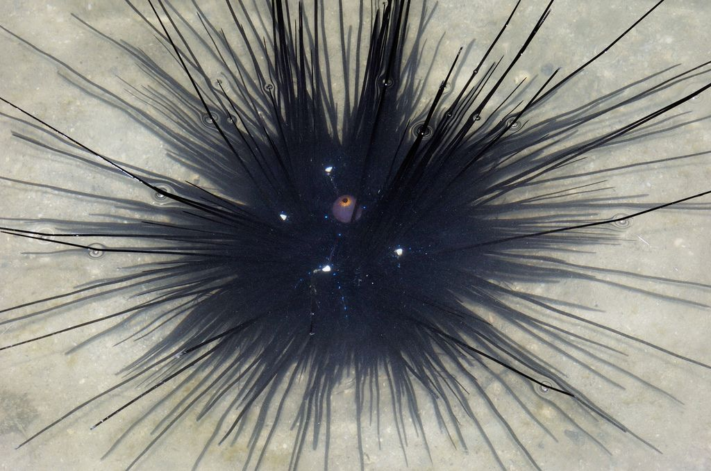 Black Long Spined Urchin