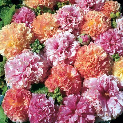 Double Hollyhock 'Fruity Mix' (Alcea rosea)