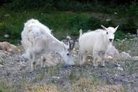How To Treat Goats With Kaopectate Goats Baby Goats Diarrhea In Kids