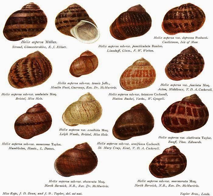 Cochas de Caracol   MOSAICO   Pinterest   Caracolas, Conchas y Marino