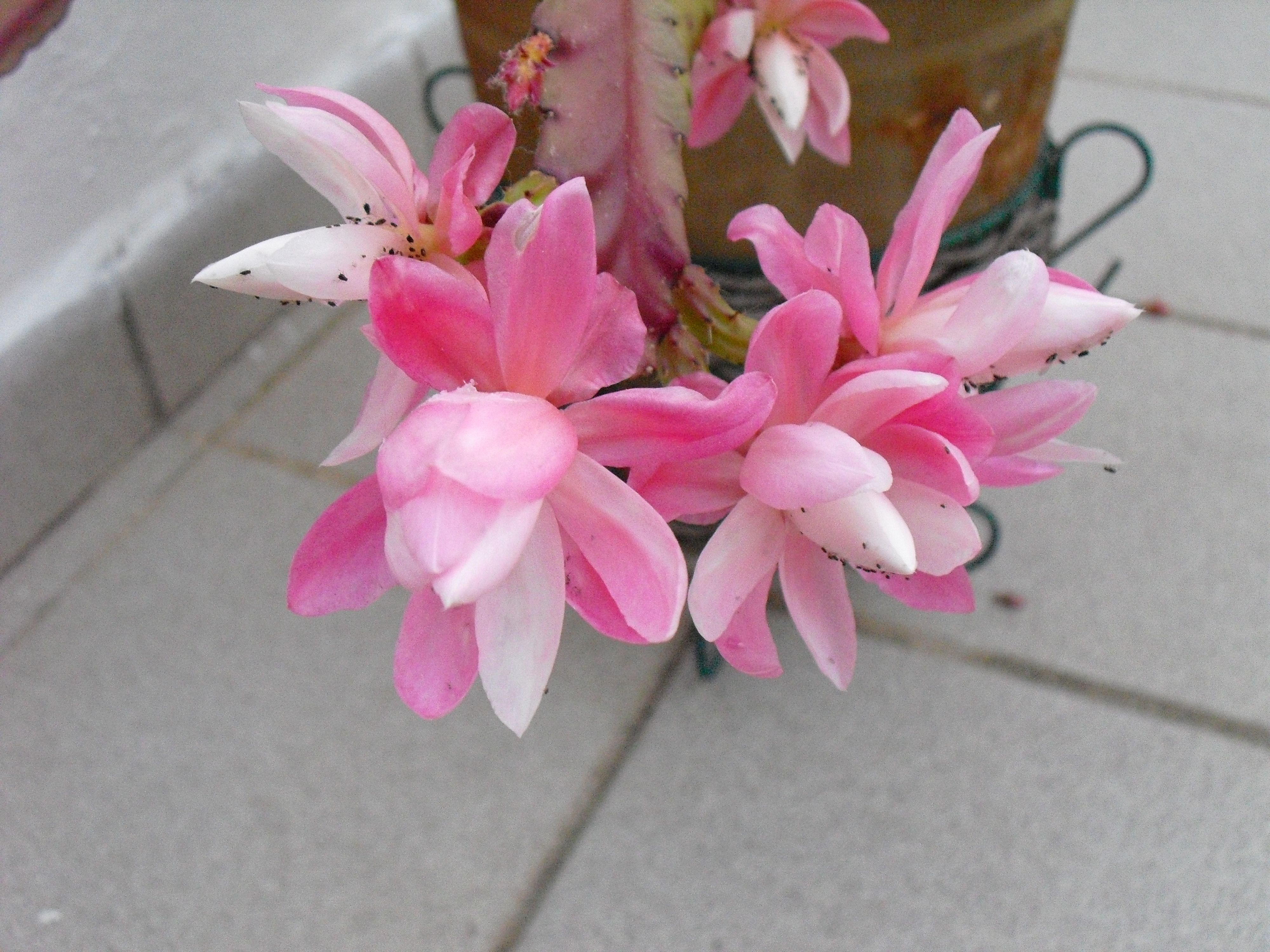 Cactus orqu dea pluma de santa teresa mis plantas del for Santa teresita planta