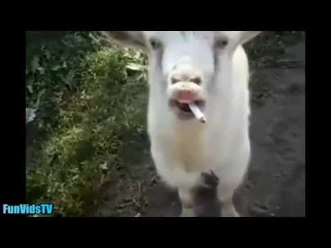 Funny Goats Video Funny Goat Videos Ever Funny Animals Video Compilation Funny Videos Funny Animal Videos Goats Funny Funny Animals