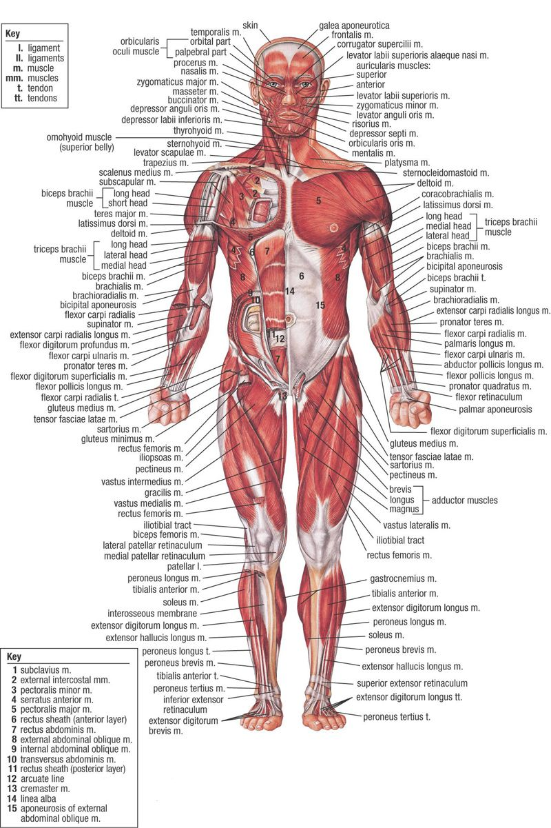 Anatomy physiology human body pdf