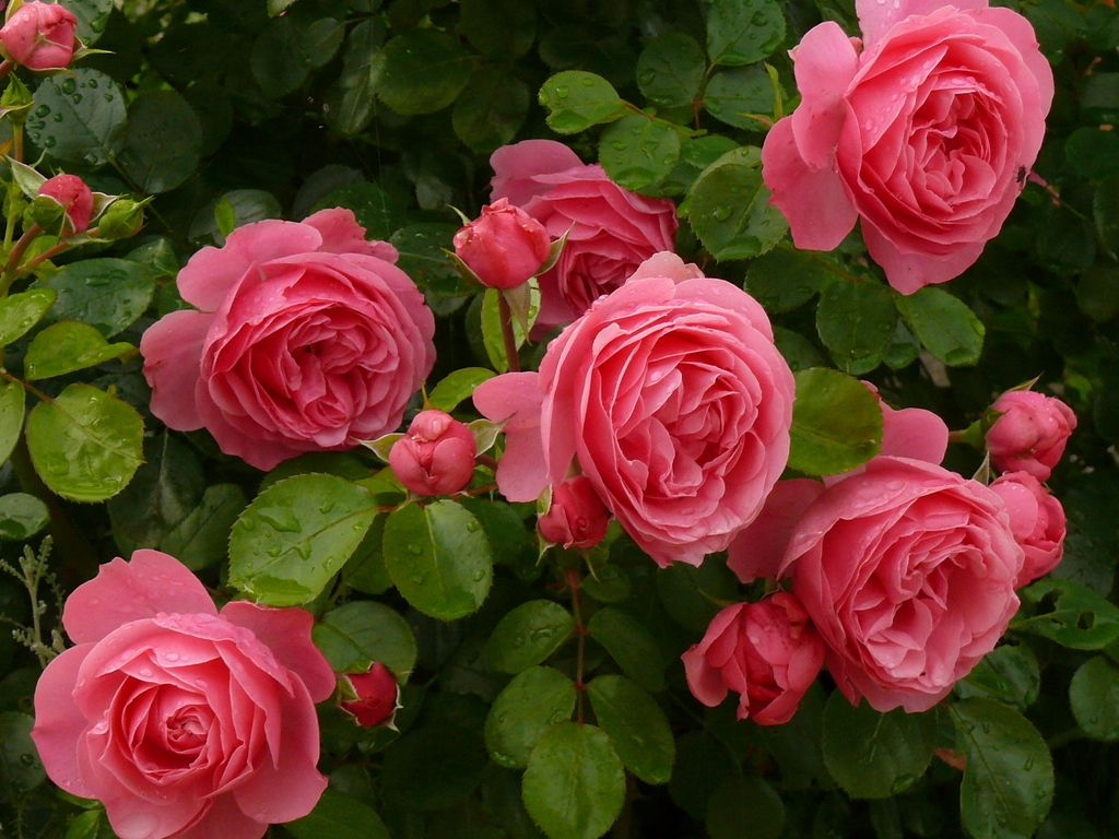 rosas leonardo da vinci roses pinterest flowers rose and gardens. Black Bedroom Furniture Sets. Home Design Ideas