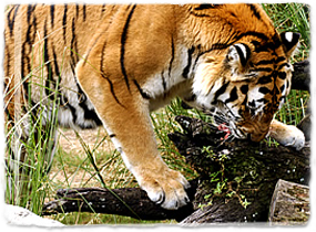 A Bengal Tiger Finishing A Meal Tiger Facts Tiger Diet Bear Skull