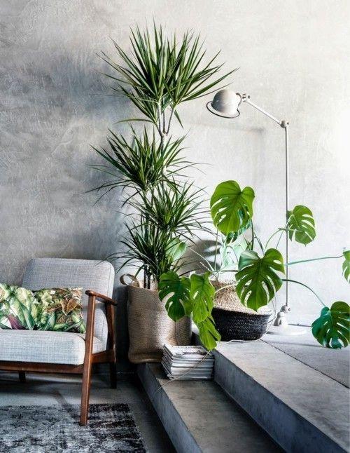 fensterblatt kombinieren andere zimmerpflanze drachenbaum dracaena - Zimmerpflanzen Warme Wohnzimmer