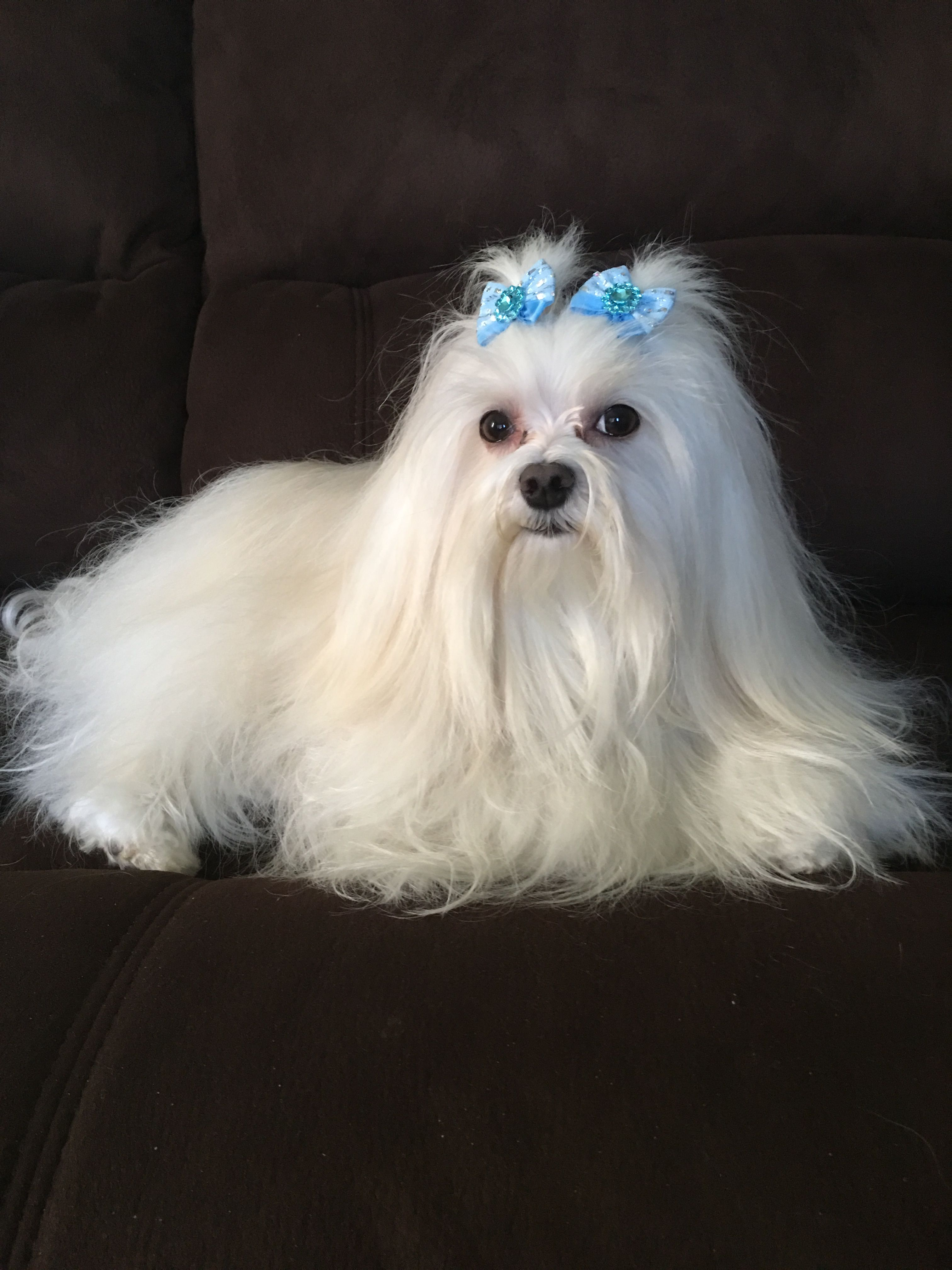 Maltese Dogs By Vickie On Beautiful Maltese Dogs 4 Months And Up