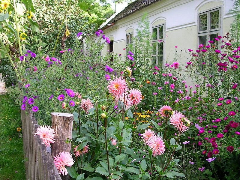 un jardin l 39 anglaise avec des fleurs sauvages au premier plan de larges dahlias pour le. Black Bedroom Furniture Sets. Home Design Ideas