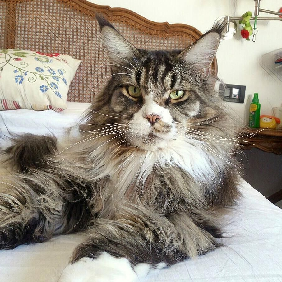 Pin On Maine Coons Stuff