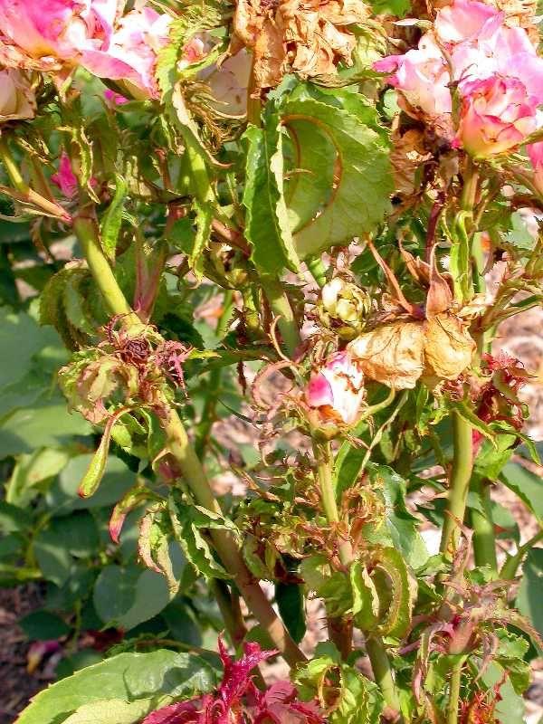 Pin on Gardening Roses