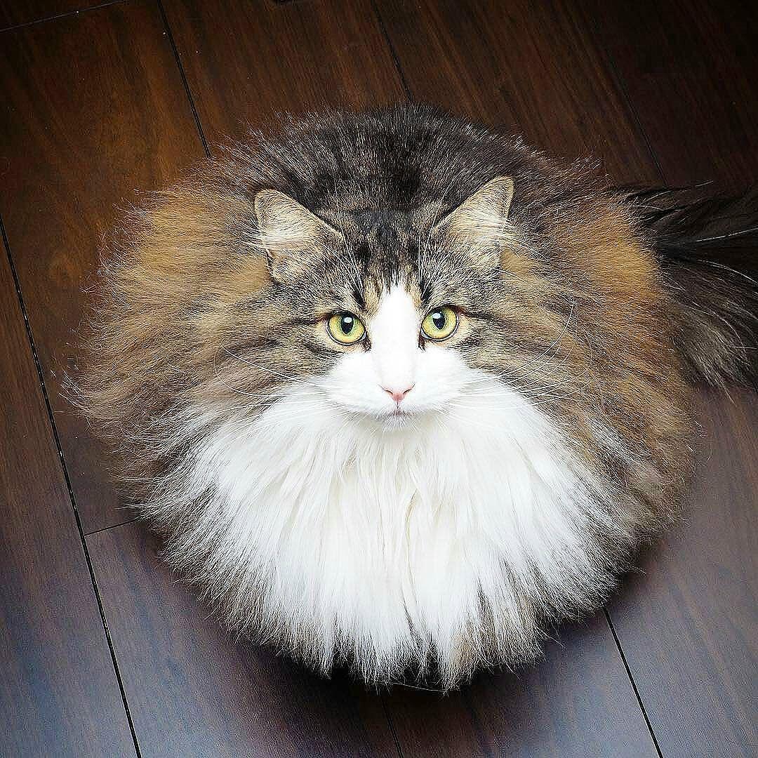 Maine Coon Kittens For Sale Winnipeg