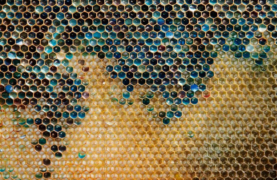 A coloured honeycomb from a beehive is seen in Ribeauville near Colmar Eastern France. Bees at a cluster of bee hives in northeastern France have been producing honey in mysterious shades of blue and green, alarming their keepers who now believe residue from containers of M & M's candy processed at a nearby biogas plant is the cause. Vincent Kessler / Reuters