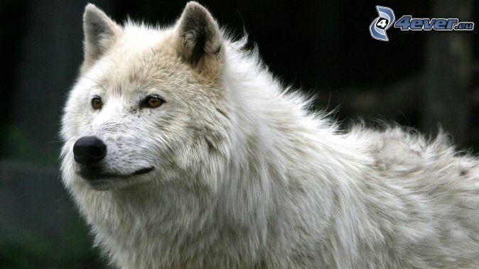 Loup Blanc Loup Blanc Fond D Ecran Loup Loup