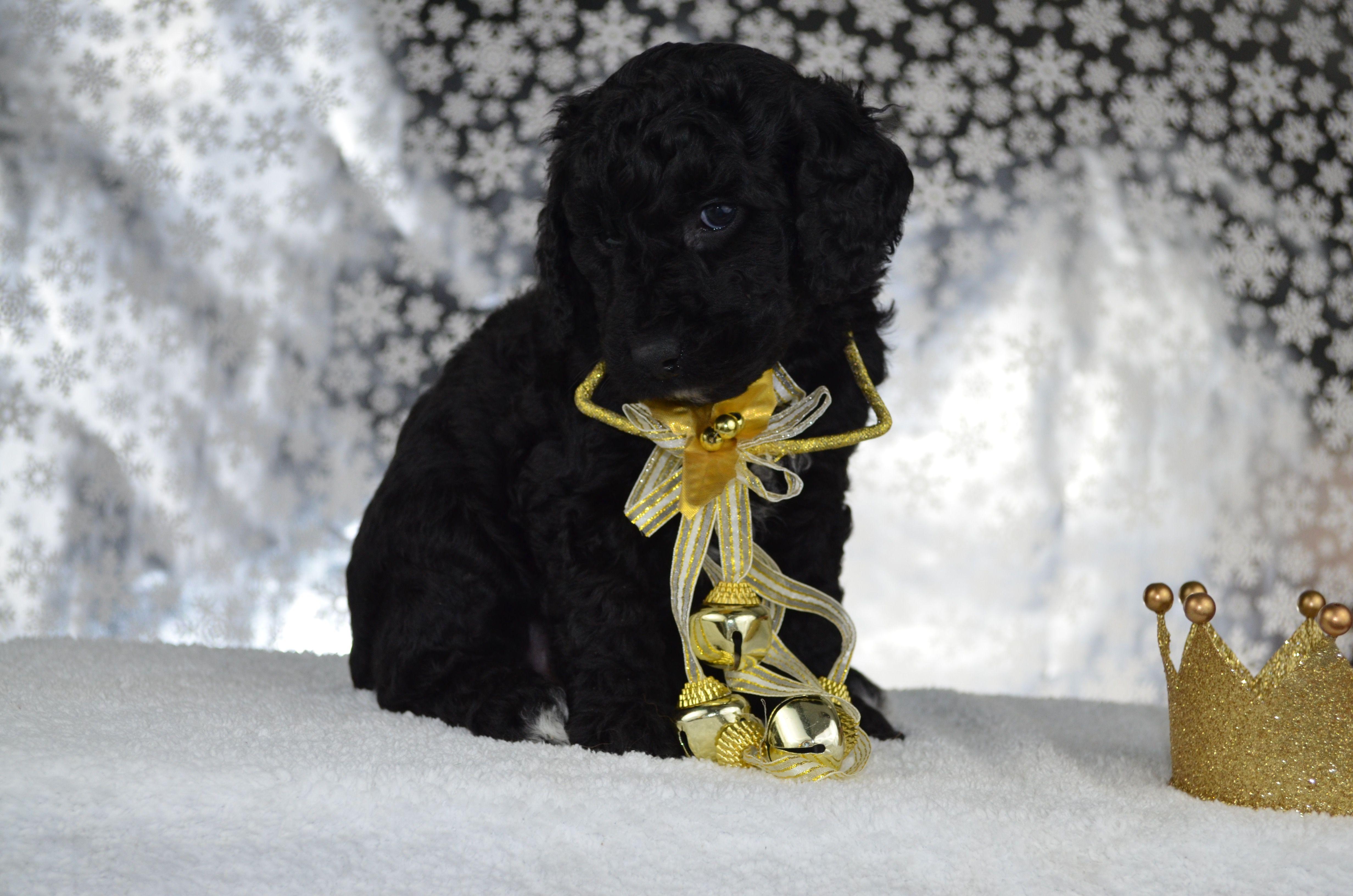 Adorable Mini Goldendoodle Puppies for sale Goldendoodle