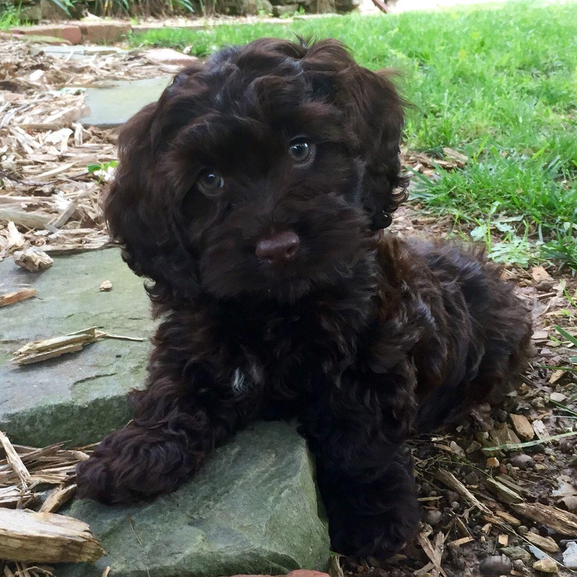 Chocolate cockapoo. So cute! | Cute | Pinterest | Chocolate, Dog ...