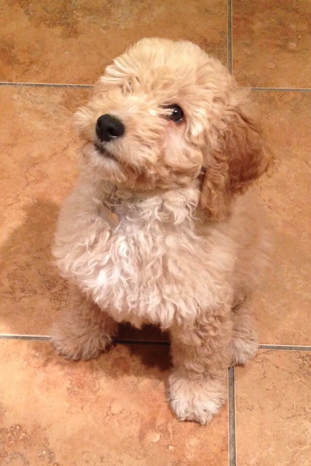 Finley our apricot cockapoo! Cockapoo, Dogs, Puppies