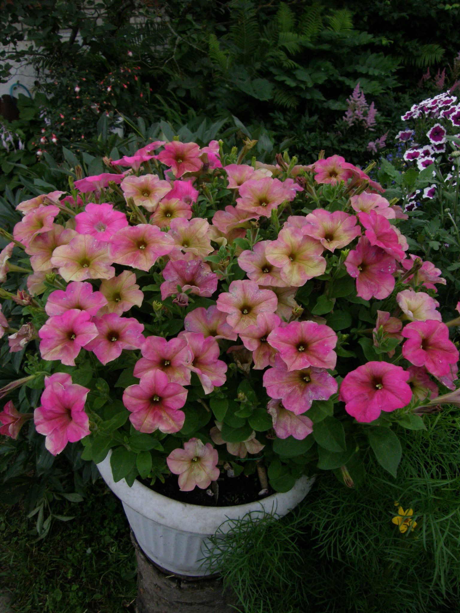 Petunia Debonair Dusty Rose Container Gardening And Window Box