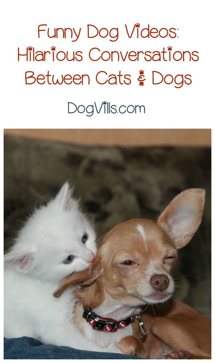 Funny Dog Video Cat Takes On A Beagle Talking Pet Clips Funny